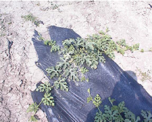 Figure 1 Watermelon excluded from the irrigation system