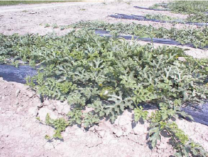 Figure 3 Watermelon treated with MEGAGREEN