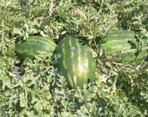 Figure 1 Watermelon treated with MEGAGREEN