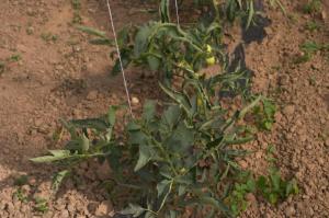 Слика 1 Култура домати нетретирани со MEGAGREEN